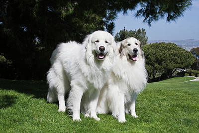 Two Tailed Photograph - Two Great Pyrenees Together At A Laguna by Zandria Muench Beraldo