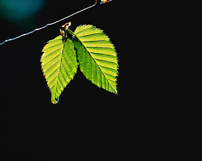 Two Green Leaves On Thin Branch On Black Art Print by Panoramic Images