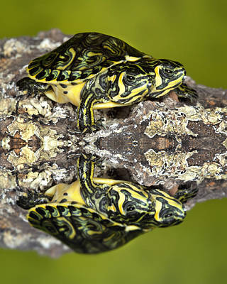 Robert Jensen Photograph - Two-headed Yellow-bellied Slider Turtle by Robert Jensen