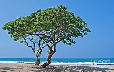 Photograph - Two Heliotrope Trees On Tropical Beach Art Prints by Valerie Garner