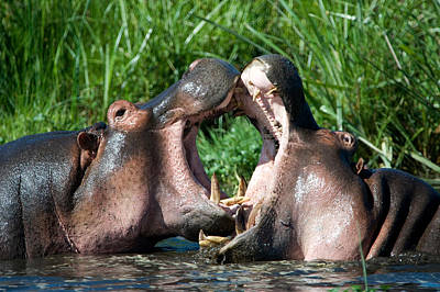 Hippopotamus Photograph - Two Hippopotamuses Hippopotamus by Panoramic Images