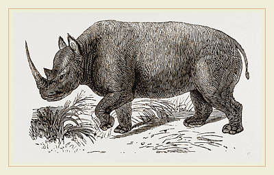Rhinoceros Drawing - Two-horned Rhinoceros by Litz Collection