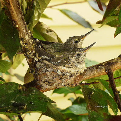 Photograph - Two Hummingbird Babies In A Nest 2 by Xueling Zou