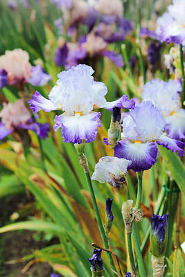 Photograph - Two Iris by Patricia Babbitt