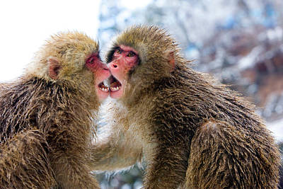 Bite Photograph - Two Japanese Macaques (macaca Fuscata by Jaynes Gallery