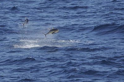 Photograph - Two Jumping Yellowfin Tuna by Bradford Martin