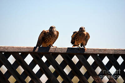 Photograph - Two Kestrel Hawks Ready For Take Off by Afroditi Katsikis