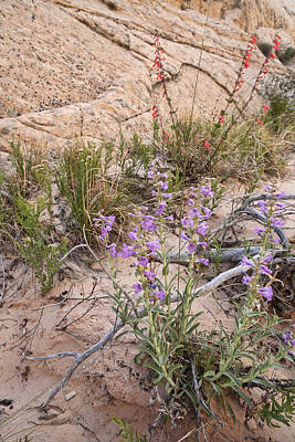 Photograph - Two Kinds Of Penstemon by Gregory Scott