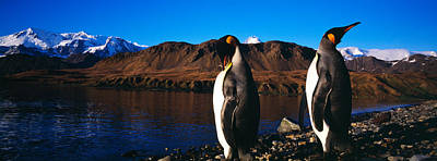 Two King Penguins Aptenodytes Art Print by Panoramic Images