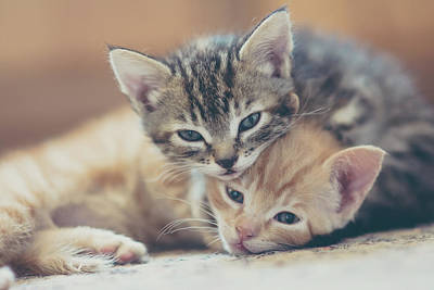 Two Kittens Looking At The Camera Art Print by Harpazo hope