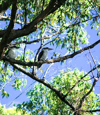 Photograph - Two Kookaburra's by Phoenix De Vries