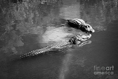 Two Large American Alligators Standing On Underwater Log Near Water Surface Florida Usa Print by Joe Fox