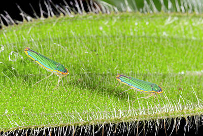 Two Leafhoppers On A Hairy Leaf Art Print by Dr Morley Read
