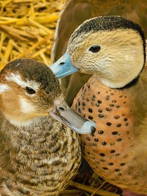 Baby Mallards Digital Art - Two Little Ducks by Mair Hunt