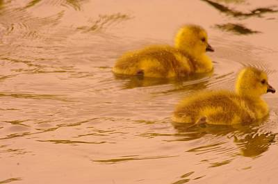 Fowl. Wildlife Photograph - Two Little Furry Fuzzies by Jeff Swan