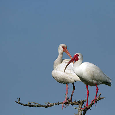 Photograph - Two Loving White Ibis by Martha Marks