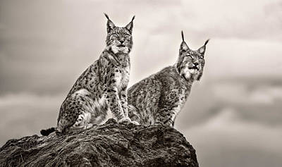 Lynx Wall Art - Photograph - Two Lynx On Rock by Xavier Ortega