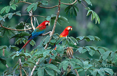 South American Jungle Photograph - Two Macaws by Art Wolfe
