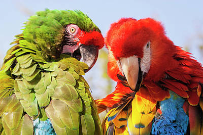 Scarlet Macaw Photograph - Two Macaws Preening by Piperanne Worcester
