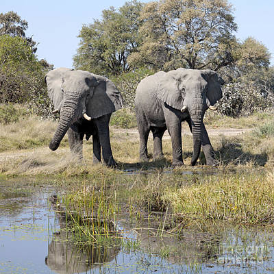Art Print featuring the photograph Two Male Elephants Okavango Delta by Liz Leyden