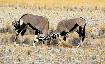 Two Male Oryx Locking Horns Art Print