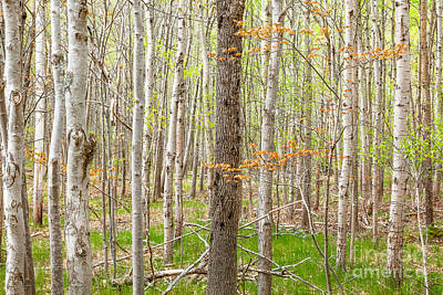 Photograph - Two Maples In A Birch Grove by Susan Cole Kelly