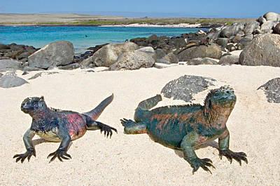 Galapagos Photograph - Two Marine Iguanas Amblyrhynchus by Panoramic Images
