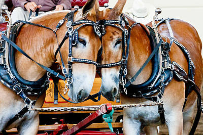 Photograph - Two Mules by Ben Graham