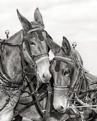 Harness Photograph - Two Of A Kind by Ron  McGinnis