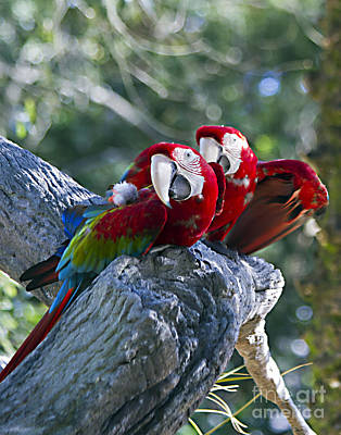 Photograph - Two On A Branch Two by Ken Frischkorn