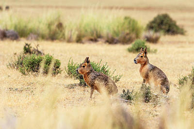 Two Patagonian Hares (dolichotis Print by James White