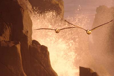Birds Living In Nature Photograph - Two Pelicans Combing The Rocks by Jeff Swan