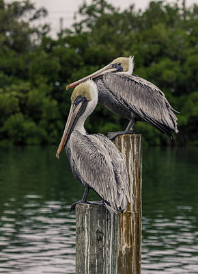 Photograph - Two Pelicans On Post by Dorothy Cunningham