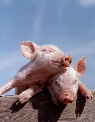 Two Piglets Leaning Against Each Other Art Print
