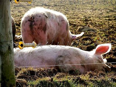 Photograph - Two Pigs by Tana Reiff