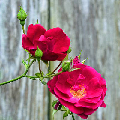 Photograph - Two Pink Roses And Buds by Connie Fox