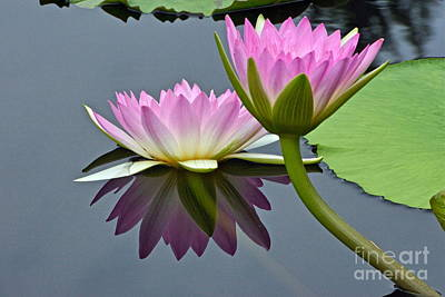 Photograph - Two Pink Waterlilies With Reflection by Byron Varvarigos