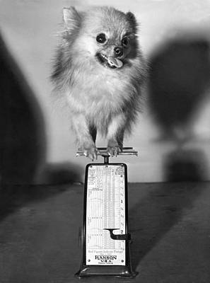 Pomeranian Photograph - Two Pounds Of Pomeranian by Underwood Archives