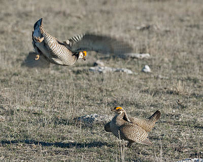 Mating Dance Photograph - Two Prairie Chickens Fighting by Gary Langley