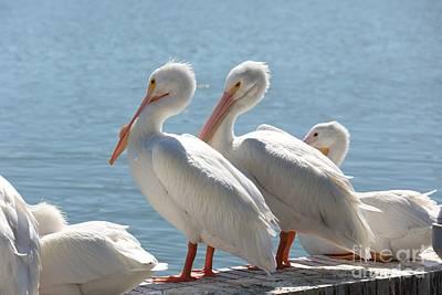 Photograph - Two Pretty White Pelicans  by Carol Groenen