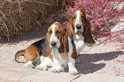 Two Purebred Bassett Hounds Sitting Print by Piperanne Worcester