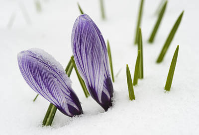 Two Purple Crocuses In Spring With Snow Art Print