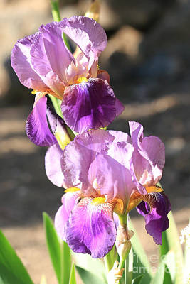 Sunlight On Flowers Photograph - Two Purple Irises by Carol Groenen