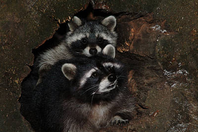 Two Raccoons Art Print by Ulrich Kunst And Bettina Scheidulin