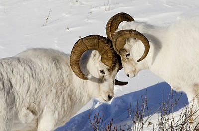 Butting Heads Photograph - Two Ram Dall Sheep But Heads, Chugach by Doug Lindstrand
