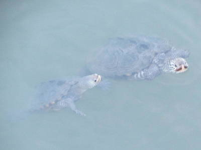Photograph - Two Rare Turtles Swam Up To See by Debbie Nester