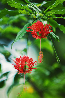 Photograph - Two Red Hibiscus by Jenny Rainbow