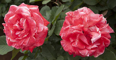 Photograph - Two Reds by Masami Iida