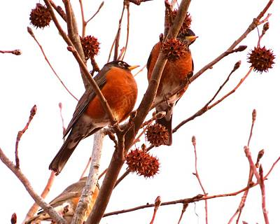 Songbirds Photograph - American Robins Signs Of Spring by Scott Cameron