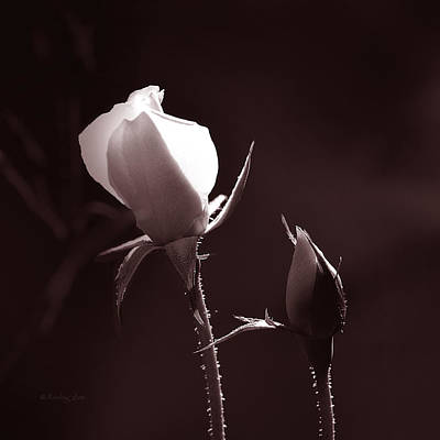 Photograph - Two Rose Buds by Xueling Zou